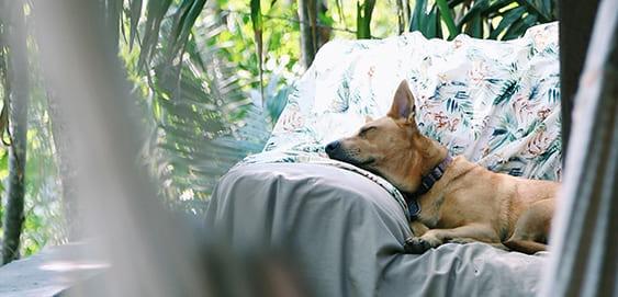 liegender Hund auf Kissen