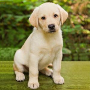 Labrador Retriever Merkmale