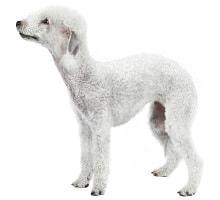 Bedlington Terrier Aktivitäten