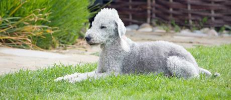 Bedlington Terrier Futter