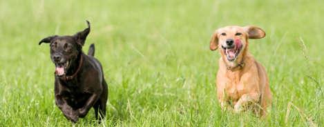 Labrador Retriever Ernährung