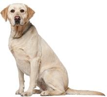 Labrador Retriever Aktivitäten