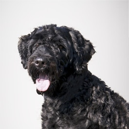 Portugisischer Wasserhund